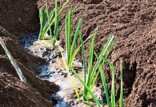 Высадка рассады лука-порея в почву