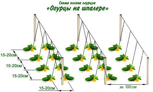 Схема посадки огурцов на шпалере