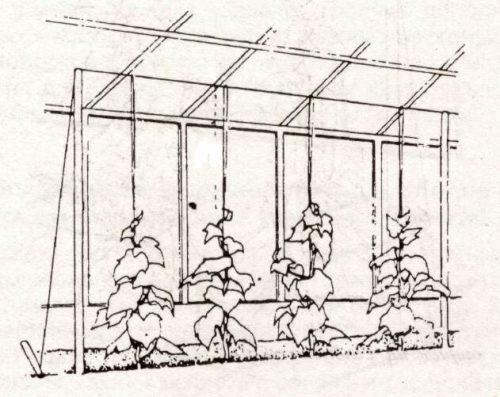 Рисунок вертикальной шпалеры для огурцов