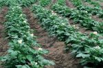 Кусты картофеля на грядке