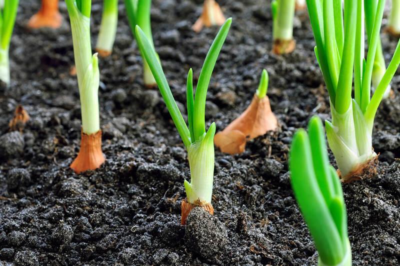 Удобрения для лука при посадке осенью
