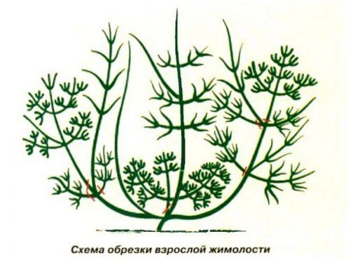 Схема обрезки жимолости