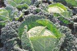 Савойская капуста Аляска