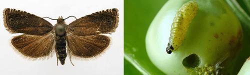 Бабочка и гусеница гороховой плодожорки