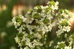 Пчела на цветке хрена