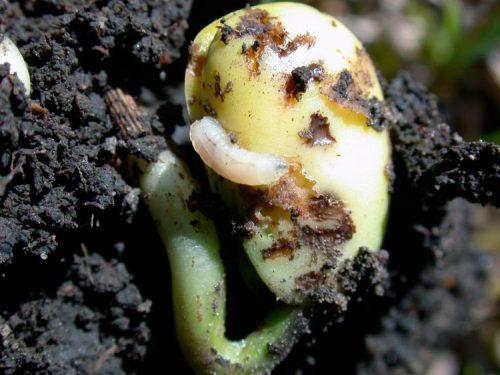 Личинка ростковой мухи