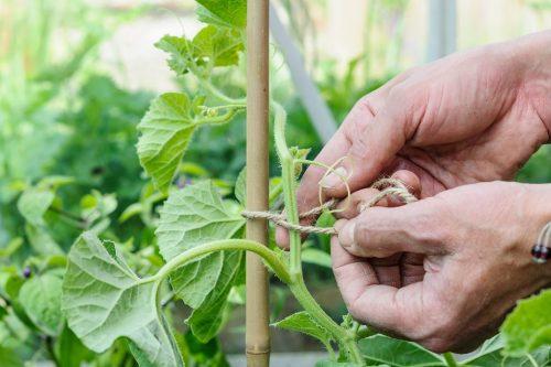 Подвязывание стебля