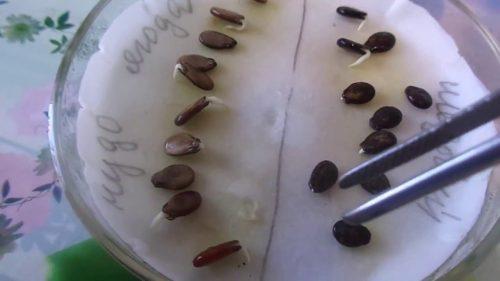 Пророщенные семена арбуза