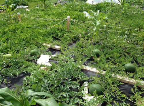 Арбузы в огороде