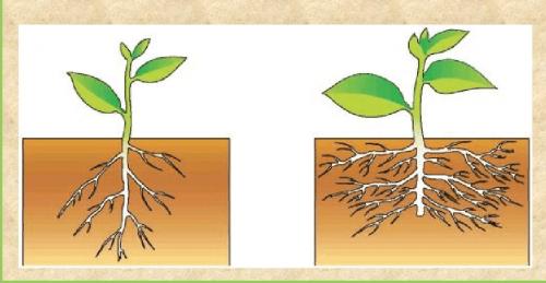 Принцип прищипывания корня