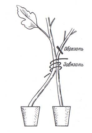 Пикировка томатов на два корня