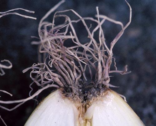 Корни лука, поражённые фузариозом