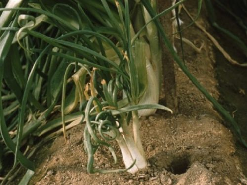 Повреждённые луковым клещом растения