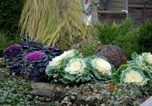 Розеточная декоративная капуста