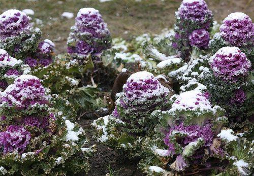 Декоративная капуста под снегом