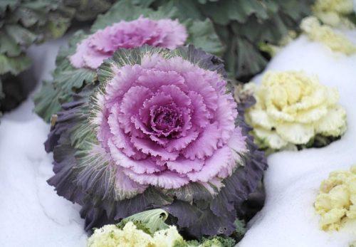 Декоративная капуста на снегу