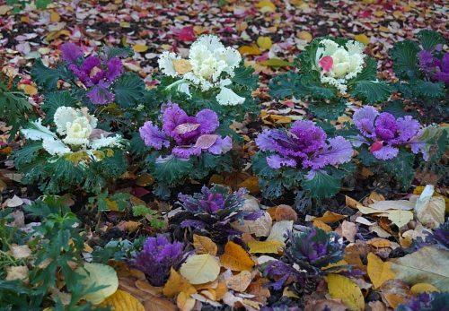 Декоративная капуста осенью