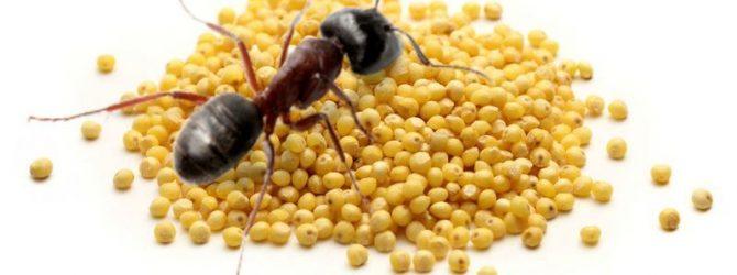 муравей на пшене