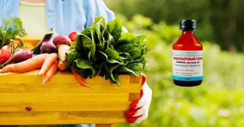 Подкормка овощных культур нашатырем