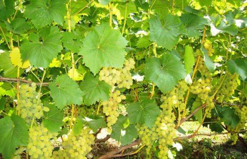 Осветление виноградника