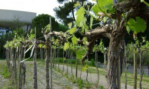 Бесштамбовое формирование винограда