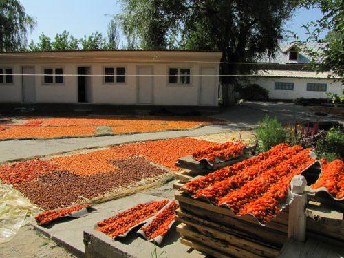 сушка абрикосов на воздухе