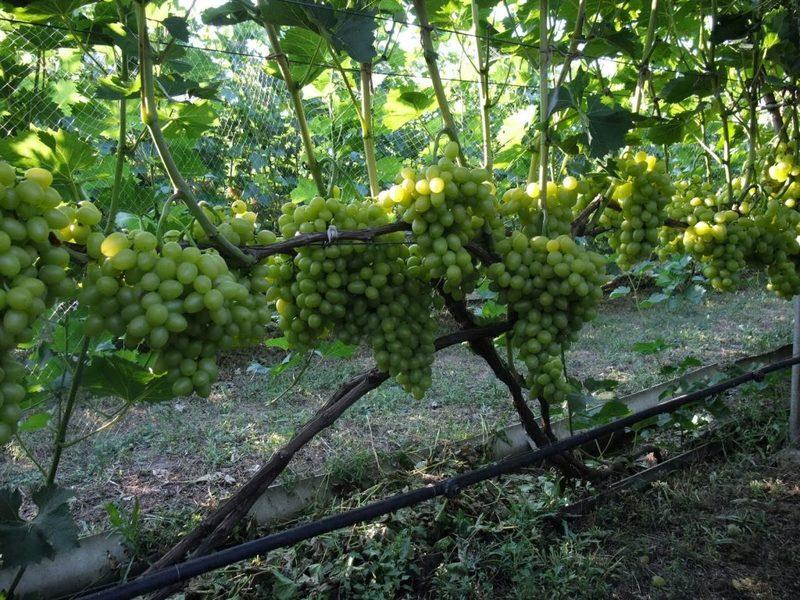 Полив винограда летом – как часто, периодичность в регионах
