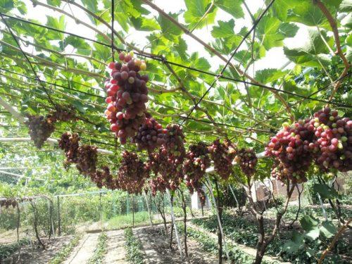 Летний полив винограда
