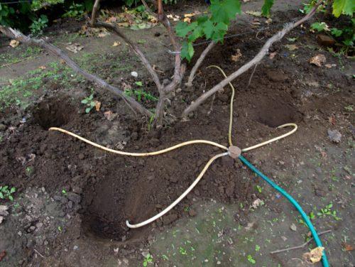 Полив винограда через лунки