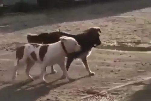 Собака ведет другую за поводок