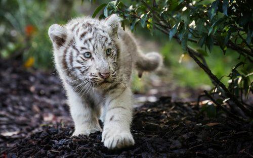 Детёныш бенгальского тигра