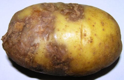 Гниль на картофеле