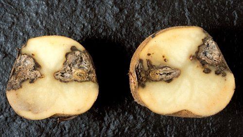 Сухая гниль у картофеля