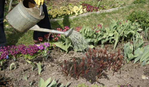Регулярный полив пионов — основа ухода за ними