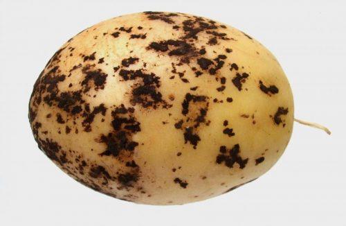 Чёрная парша у картофеля