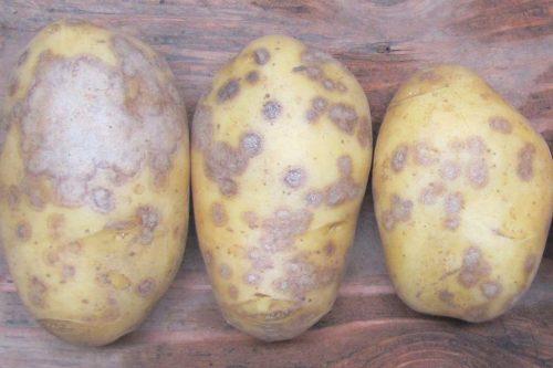 Серебристая парша у картофеля