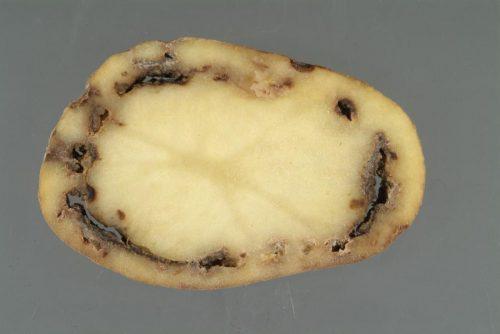 Кольцевая гниль у картофеля