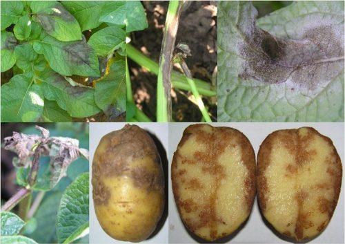 Фитофтороз у картофеля