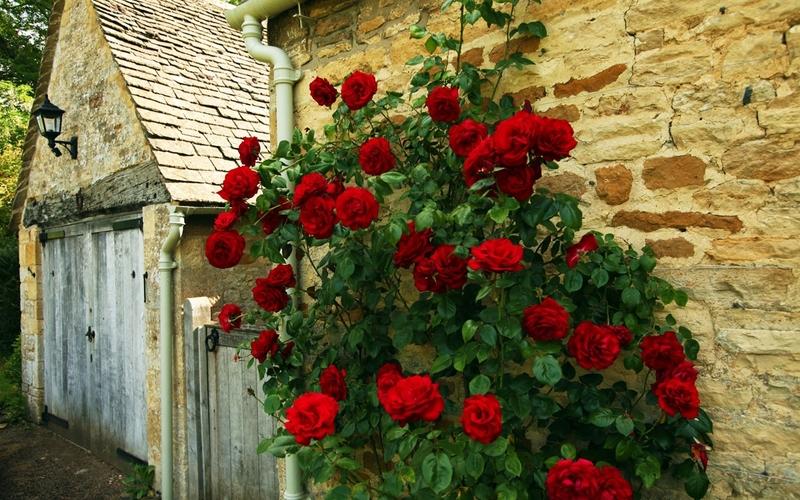 Размножение роз черенками: лучшие способы укоренения черенков роз в саду и дома