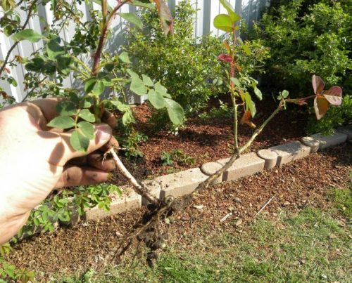 Размножение розы отводками