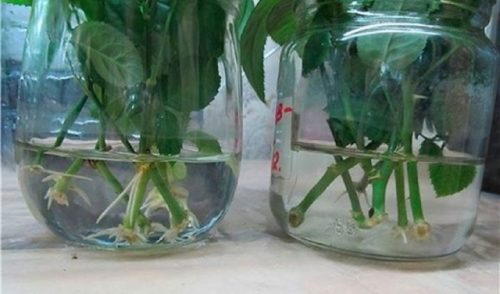 Укоренение роз в воде