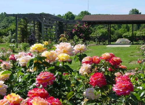 Розы на огороде