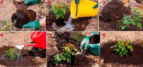 Этапы посадки розы