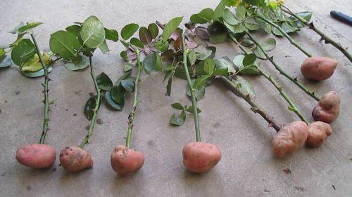 Роза в картошке
