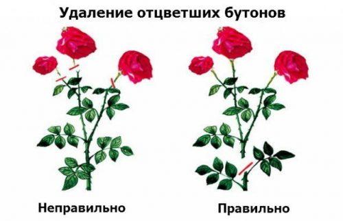 Обрезка многоцветковых роз