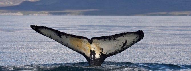 краснокнижный серый кит