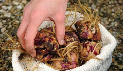 Луковицы лилий в мешке