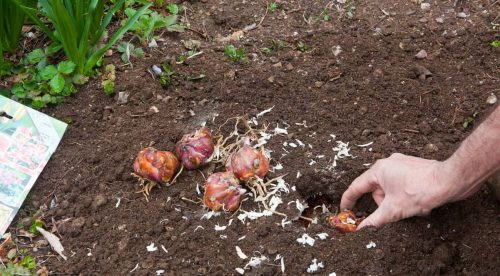 Посадка луковиц лилии в открытый грунт