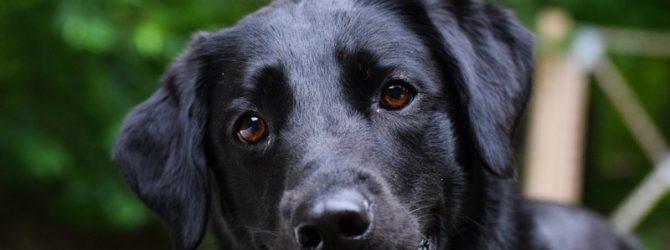 черный лабрадор щенок