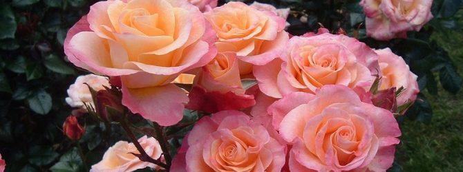 Садовые розы